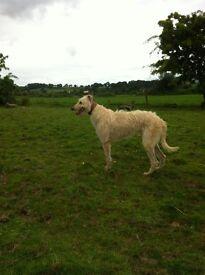 lurchure/ deer hound dog for sale