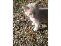 ginger boy kitten