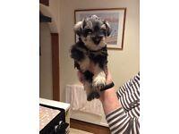 Beautiful miniature schnauzer pups