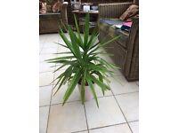 Yucca plant in pink ceramic pot