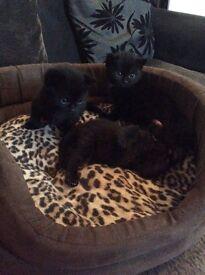 3 beautiful black kittens.