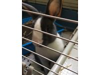 FREE 12week old male blue and white baby dutch rabbit and cage