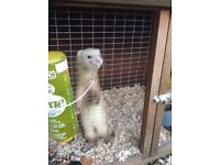 ***MISSING*** REWARD***Female Ferret