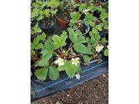 Strawberries Plants - Truskawki