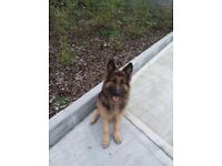 Rollo 16month old male longcoat german shepherd