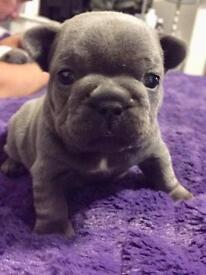 French bulldog pups *QUALITY* blue girls or blue and white pied KC REGISTERED