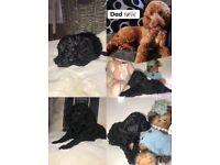 COCKAPOO Puppys PRA clear
