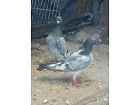 Pakistani high flayer pigeon quick sale
