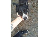 8 month old border collie good with kids cats and dogs