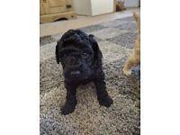 Beautiful Black Toy Poodle Boy Puppy
