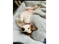 Lovely Jack Russell boy puppy for sale