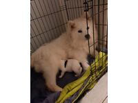 Samoyed cross collie puppies ready Friday
