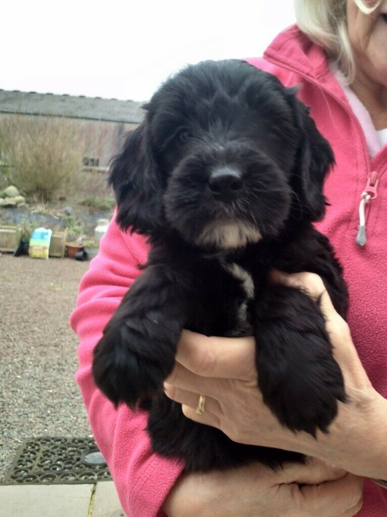 Gorgeous F1 Cockapoo Puppies In Kirkcudbright Dumfries And Galloway Gumtree