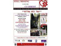 CUTHBERT: Lost grey cat in Rhyd-Y-Fro