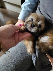 ShihTzu puppies READY NOW!