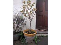 Dwarf Cherry Tree