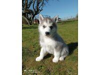 Licensed Breeder, Siberian Husky pups