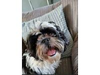 Shih Tzu Male Pup 5 Months Old Looking For Forever Home