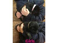 German shepherd puppies k c registered