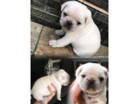 Pure white kc pug puppy