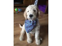 Labradoodle Puppy male ready now