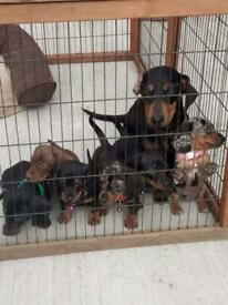 Dachshunds mini litter