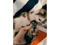 Playfull kittens Maine coon x ragdoll fluffy