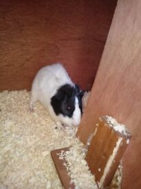 2 x Guinea Pigs and Outdoor Hutch looking for loving new home