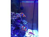 clown fish pair marine fish tank fish