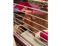 Two female guinea pigs and cage