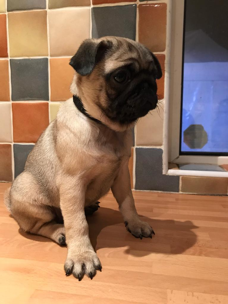 Pug puppie ready now