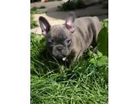 Kc French Bulldog Puppies REDUCED!