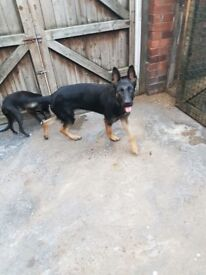 Alsatian dog 12 months old