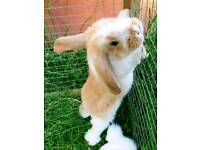 FRENCH LOP RABBITS BUNNIES BABIES