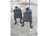 2 black pug bitches