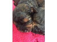 Cockerchon puppies for sale