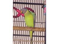 Plum headed parrot
