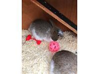 Mini lop babies for sale