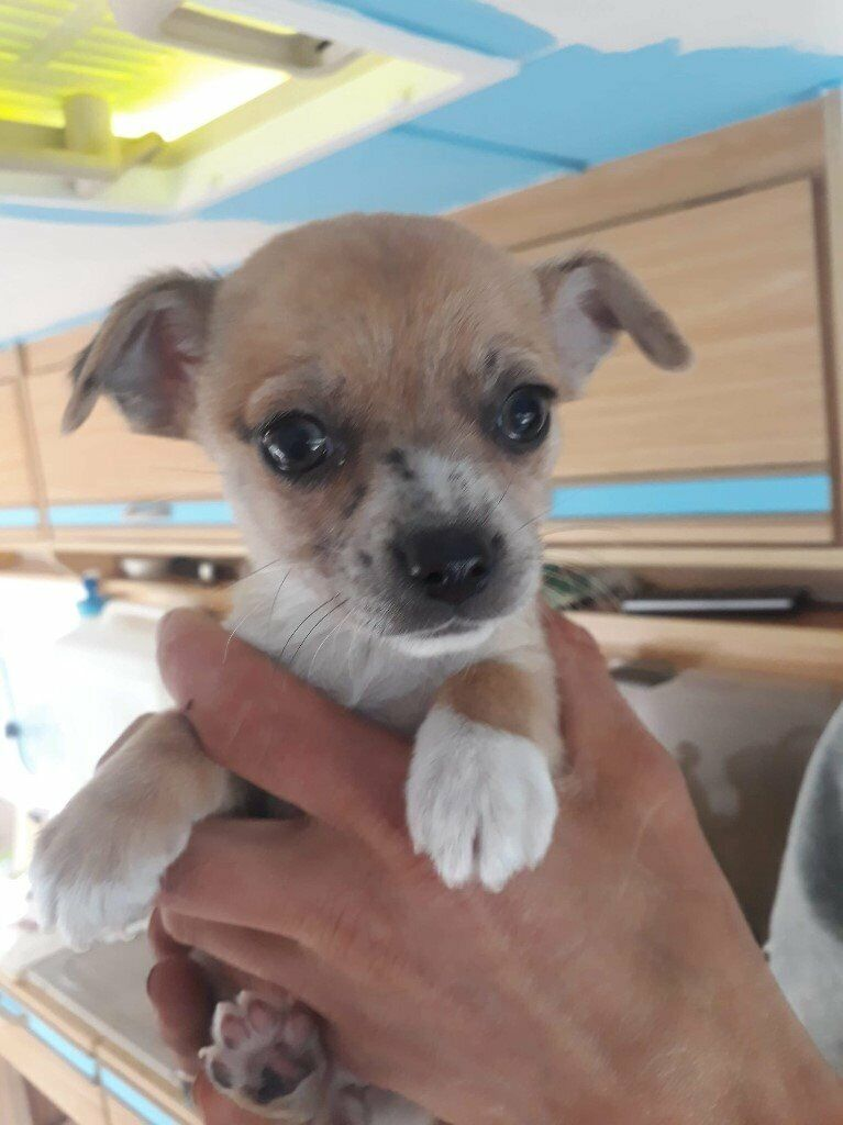 Jack Russel X Chihuahua Puppies 200 Final Price Drop In Crediton