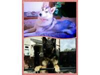 Husky x German Shepherd Puppies