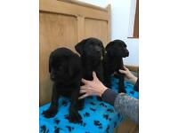 Male KC Labrador puppies for sale!