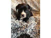 Staffy x bulldog puppies 6 weeks old