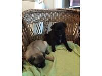 Pedigree Pug Puppies
