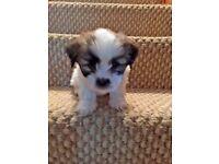 Fabulous Female Lhasa Apso Puppy Available, Full Pedigree . KC Reg . Vet Checked etc