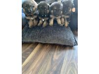 German shepherd puppies for sale £1000 ready for new home 11th may