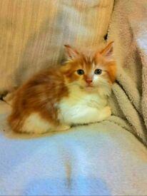 Fluffy ginger kittens