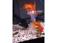 Oranda fish