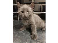 Female pure grey kitten