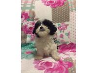 Shichon teddy bear puppy's
