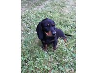 Dachshund Ministure puppy/girl for sale